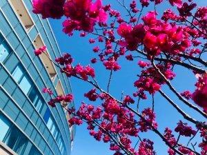 サムネイル画像:紅房桜が見頃を迎えています