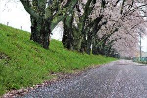 サムネイル画像:一度は見たい!浪江の春の絶景 請戸川リバーラインの桜♪開花情報