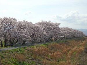 サムネイル画像:請戸川リバーラインの桜が満開を迎えています!