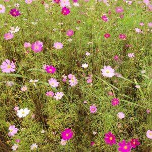 サムネイル画像:浪江町の花、コスモスが満開です!